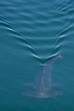 A Smooth Hammerhead Shark  Sphyrna Zygaena  Swims under the Surface in Open Ocean