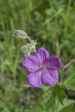 Sticky Geranium  Geranium Viscosissimum  Flowers Bloom in Montana's Boulder River Valley