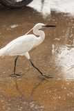 White Egret Walks around the Old Port of Casablanca
