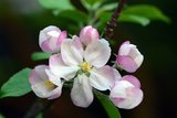Close Up of Apple Flowers  Malus Species  in Cape Breton Highlands National Park