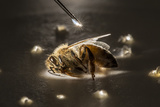 A Syringe Places a Minute Droplet of Phenothrin on a Honeybee