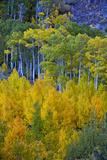 Fall-Colored Aspens Glow in Bishop Creek Canyon in the Eastern Sierra Nevada  California