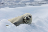 A Crabeater Seal on an Ice Floe Near Fish Island  Antarctica
