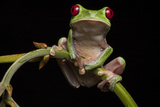 Portrait of a Red-Eyed Tree Frog  Agalychnis Calidryas