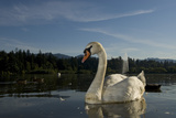 A Mute Swan  Cygnus Olor  on Lost Lagoon in Stanley Park