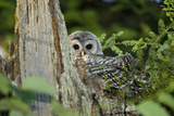 A Juvenile Barred Owl  Strix Varia  Rests on Top of a Dead Tree