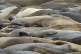 Northern Elephant Seals  Mirounga Angustirostris  Rest on the Shore