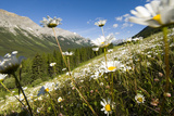 Oxeye Daisies  Leucanthemum Vulgare  Grow in the Kananaskis Range in Peter Lougheed Provincial Park