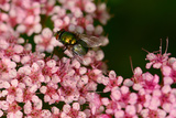 A Female Blowfly Visits Pink Spirea Flowers for Nectar