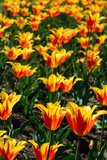 Red and Yellow Tulips in the Public Garden