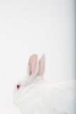 Close Up Portrait of a White Domestic Rabbit  the Kind Used in Laboratory Testing