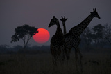 Three Giraffe Silhouettes Against the Setting Sun