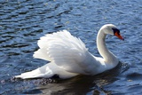 A Mute Swan  Cygnus Olor  Swims in a Pond in the Public Garden