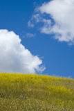 A Field of Mustard Plants and Clouds in a Blue Sky