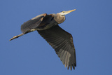 A Great Blue Heron  Ardea Herodias  in Flight Above the Occoquan River