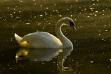 A Mute Swan  Cygnus Olor  Floats on a Lake Among Feathers