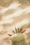 A Dandelion Plant Grows Along Indian Creek in the Buffalo Gap National Grasslands