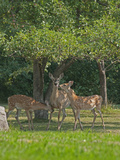 A White-Tailed Doe and Her Two Fawns Graze Below an Apple Tree in a Backyard Near Bozeman