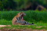 A Jaguar Yawning on a River Bank in the Pantanal