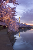 Cherry Trees in Bloom  and the Washington Monument at Twilight