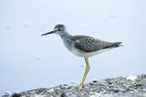 A Lesser Yellowlegs  Tringa Flavipes