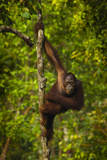 Portrait of a Male Bornean Orangutan  Pongo Pygmaeus  Clinging to a Tree Trunk