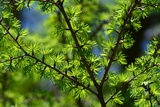 Close Up of Larch Tree Branches  Larix Species  with New Growth in Spring