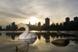 A Mute Swan  Cygnus Olor  in Lost Lagoon in Stanley Park