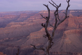 A Dead Tree Looms in Front of a View of the Grand Canyon from Pima Point