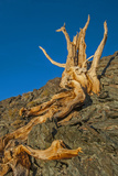 The Wind-Twisted Trunk of a Dead Bristlecone Pine Atop an Arid Mountain