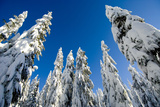 Snow-Laden Trees on Seymour Mountain