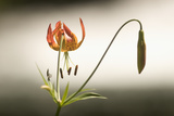 A Tiger Lily Grows Along the Rogue River