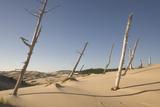 Dead Conifer Trees in Sand Dunes Along John Dellenback Trail  Oregon Dunes National Recreation Area