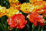 Fancy Red  Yellow and Orange Tulips in the Public Garden