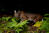 A Bobcat  Lynx Rufus  Walks Among Ferns