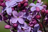 Close Up of Purple Lilac Flowers  Syringa X Hyacinthiflora  Louvois Variety