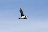 An Atlantic Puffin  Fratercula Arctica  Flies with Small Fish in its Beak