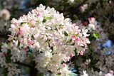 Flower-Covered Branches of a Tea Crabapple Tree  Malus Hupenhensis