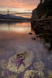 A Purple Sea Star  Asterias Ochracea  and the Lions Gate Bridge