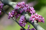 Close Up of the Cauliflorous Flowers of an Afghan Redbud Tree  Cercis Griffithii