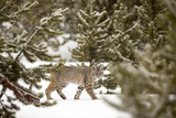 A Bobcat  Lynx Rufus  in a Snowy Evergreen Forest