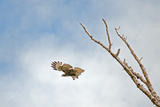 A Red-Tailed Hawk  Buteo Jamaicensis  Flies Above Montana's Gallatin Valley Near Bozeman