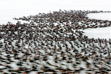 A Flock of Surf Scoter Ducks  Melanitta Perspicillata  on the Water