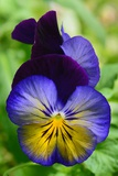 Close Up of a Pair of Pansy Flowers
