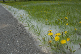 Seed-Laden 'Cotton' from Quaking Aspens Buries Dandelions and Grass  Montana