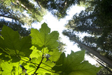 A Vine Maple  Acer Circinatum  and the Forest Canopy