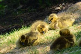 Canada Geese Goslings Resting on a Sunny Patch of Earth