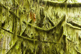 Moss Hangs from Branches in the Pacific Temperate Rainforest