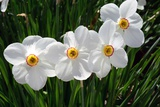 Close Up of a Flowering Cluster of Daffodils  Narcissus Species
