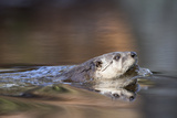 A North American River Otter  Lontra Canadensis  Swimming